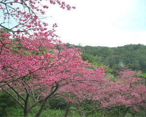 沖縄の桜祭り